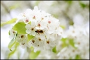 pear-tree-border1